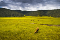 Beautiful shangri-la grassland pastures Royalty Free Stock Images
