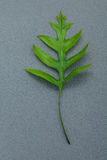 Beautiful shape of fern leaves flat lay on gray background. Gree Royalty Free Stock Photos