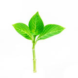 Beautiful shape of green leaf branch on white background Stock Photos