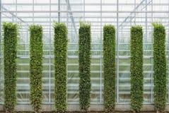 Beautiful shape pruned green bushes. stock photo