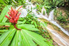 Beautiful shape of wild ginger in front of a waterfall blurred background, group of red ants on wild ginger flower. Natural spring. Scene. Close, wide angle stock images