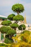 Beautiful shaped tree in the wat phra kaew temple, Bangkok, Tha Stock Image