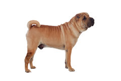 Beautiful Shar Pei Dog Breed Royalty Free Stock Image