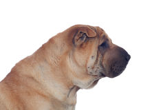 Beautiful Shar Pei Dog Breed Stock Photo