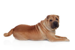Beautiful Shar Pei Dog Breed Stock Images