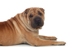 Beautiful Shar Pei Dog Breed royalty free stock photo