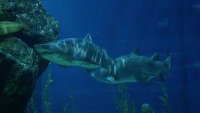 Beautiful sharks in an aquarium. Underwater Scene. 3840x2160. 4k stock footage