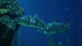 Beautiful sharks in an aquarium. Underwater Scene. 3840x2160 stock footage