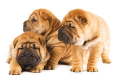 Beautiful sharpei puppies Royalty Free Stock Photography