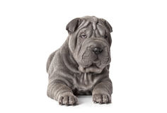 Beautiful sharpei puppy Royalty Free Stock Photo