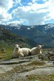 Beautiful sheep. On the rocks royalty free stock photography