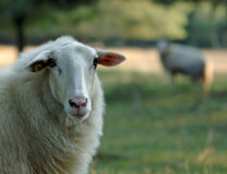 A beautiful sheep Royalty Free Stock Photo