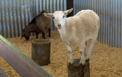 Beautiful sheep at the Brisbane zoo, Australia royalty free stock photos