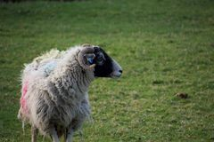 Beautiful sheep in a field; with horns and black face royalty free stock photography