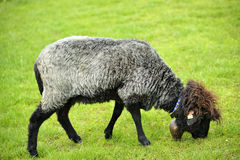 Beautiful sheep grazing grass Stock Photography