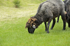 Beautiful sheep grazing grass Stock Image