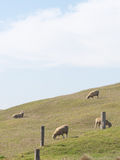 Beautiful sheep grazing in the meadow Stock Photography