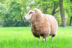 Beautiful sheep Royalty Free Stock Photos
