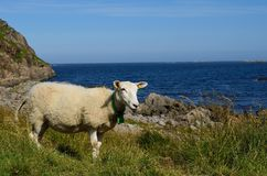 Beautiful sheep posing in front of majestic ocean view. In summer Stock Image