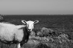 Beautiful sheep posing in front of majestic ocean. View monochrome Stock Image
