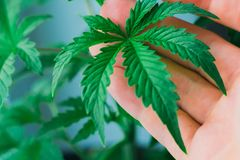A beautiful sheet of cannabis, marijuana, herbs in the hands of the man concept of growing herbs at home for Medetsian use royalty free stock image