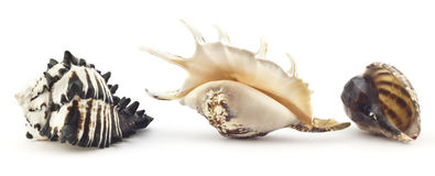Beautiful shell Royalty Free Stock Image