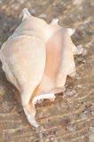 Beautiful shell on the beach in the sand Stock Photos