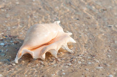 Beautiful shell on the beach in the sand Royalty Free Stock Images