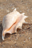 Beautiful shell on the beach in the sand Royalty Free Stock Photo