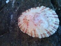 Beautiful. Shell Royalty Free Stock Image