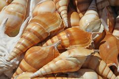 Beautiful shells for sale at the market near the sea Royalty Free Stock Image