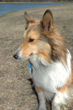 Beautiful Sheltie Stock Images