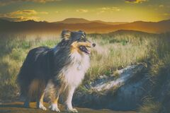 Free Beautiful Sheltie Dog Standing In Open Field Royalty Free Stock Photography - 183386347