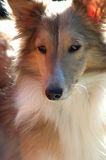 Beautiful Sheltie Sable  Dog. Miniature Sheltie dog or puppy. Beautiful Markings on face and neck. Color is Sable Stock Photos