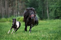 Adorable shetland pony with a  foal outdoors in summer Royalty Free Stock Photography