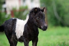 Adorable shetland pony foal outdoors in summer Royalty Free Stock Photography