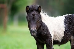 Adorable shetland pony foal outdoors in summer Stock Photos