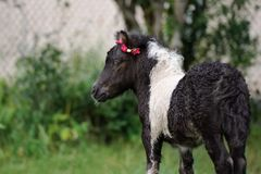 Adorable shetland pony foal outdoors in summer Stock Image