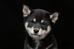 Beautiful shiba inu puppy. Beautiful black japanese shiba inu puppy dog sitting over black background. Copy space Stock Photos