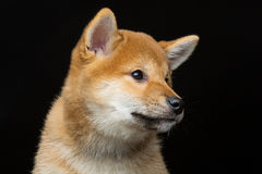 Beautiful shiba inu puppy Royalty Free Stock Photo