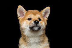Beautiful shiba inu puppy Stock Photography