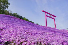 The beautiful Shiba Sakura. The beautiful pink Shiba Sakura at Hokkaido, Japan Stock Photo