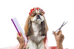 Beautiful shih-tzu dog at the groomer`s hands with comb. Beautiful funny shih-tzu dog at the groomer`s table in the studio preparing for the dog show - isolated stock photography
