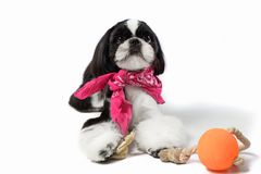 Beautiful Shih-tzu puppy with holiday candle. royalty free stock image