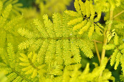 Beautiful shine mimosa pudica. Leaf with the yellow light Stock Photo