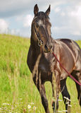 Beautiful shine sportive horse in field Royalty Free Stock Images