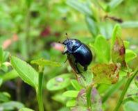 Free Beautiful Shining Bug On Plant, Lithuania Stock Photography - 156661132
