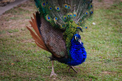 Beautiful and shinning Peacock opening its feather Stock Images