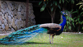 Beautiful and Shinning Peacock standing in the garden  Stock Images