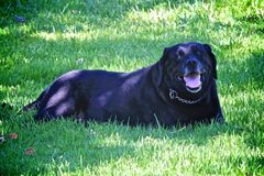 Black Labrador Retriever dog. Beautiful shiny back coat female Black Labrador Retriever dog resting in the shade on the royalty free stock photography